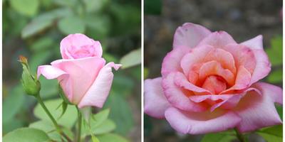 Лучшие  розы флорибунда: розовые и красные