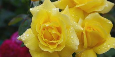 Лучшие розы флорибунда: белые, желтые, голубые