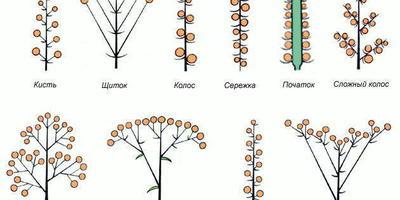 Растения с колосовидными соцветиями для летних контрастных композиций