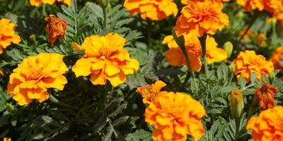Растения-репелленты - естественная защита дачи от насекомых