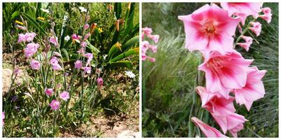 Природные виды гладиолусов: совершенство естественной красоты