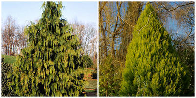Хвойные растения-двойники для южных и северных дач