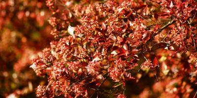 Осенний наряд сада: деревья и кустарники с красной листвой