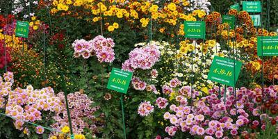 Хризантемы: участвуем в селекционном процессе