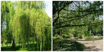 Южная экзотика на северных дачах: двойники лиственных деревьев