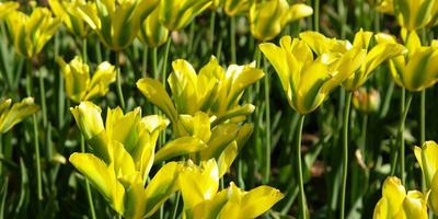 Элитные крымские тюльпаны: 46 избранных сортов