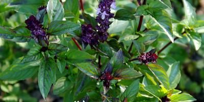 Создаем кухонный сад. Секреты выращивания укропа и петрушки в горшках