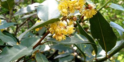 Лавр и имбирь: как вырастить ароматные культуры дома