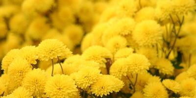 Красота в квадрате: махровые сорта цветочных культур