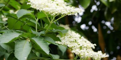 Из чего сделать цветочное вино: 7 лучших ароматных растений