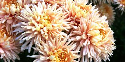 Нет предела совершенству: новинки селекции крупноцветковых хризантем