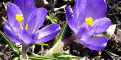 Вестники весны - крокусы