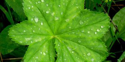 Лесные и полевые растения в саду: манжетка