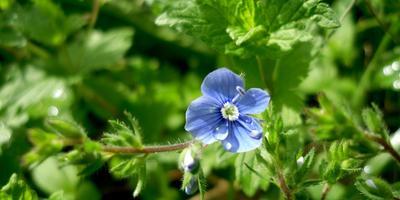 Лесные и полевые растения в саду: вероника дубравная