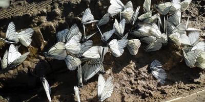 Что случилось с бабочками?