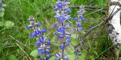 Лесные и полевые растения в саду: живучка ползучая