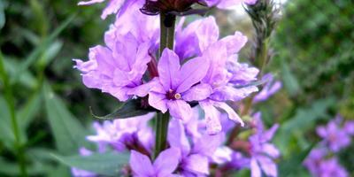 Время цветения дербенника