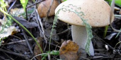 А у нас в лесу грибочки, а у вас?