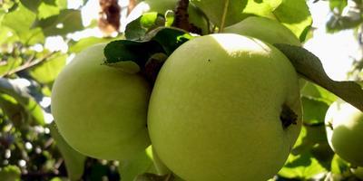 Яблоки: как справиться с урожаем?