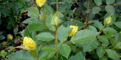 Нужно ли обрезать бутоны на розах?
