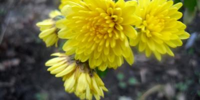 Цветы, которым не страшны морозы