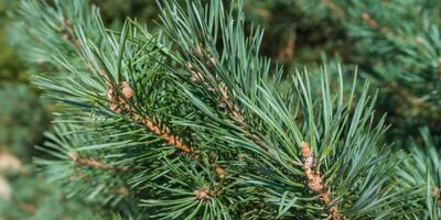 Кто какое новогоднее дерево выбирает и почему