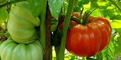 Как выбрать подходящие сорта томатов для рассады