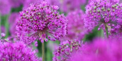 Розовые «облака» соцветий лука круглоголового для вашей дачи
