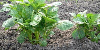 Традиционные и необычные способы посадки картофеля