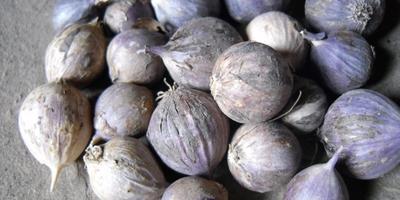 Секреты чесночного урожая