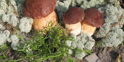 Как избежать отравления ядовитыми грибами