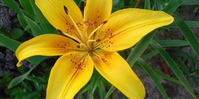 Лилии. Возрожденная красота