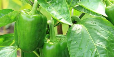 Как выращивать перец - советы Галины Кизимы