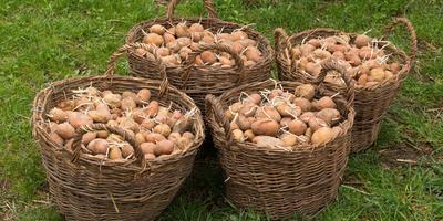 Сажаем картофель по-новому - советы Г.Кизимы