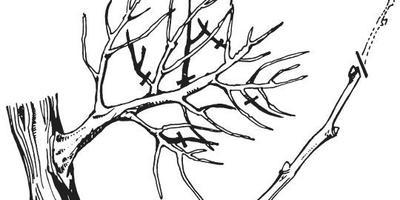 Обрезка деревьев и кустарников: выбираем тактику