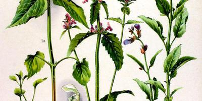 Буквица лекарственная - что за растение?