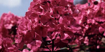 Коллекционируйте флоксы! Что нужно знать об этих цветах