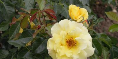 Лучшие сорта желтых роз, или Почему вам не нужен желтый сад