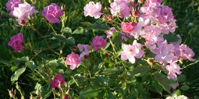 Голубые розы - существуют ли они?