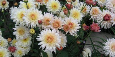Хризантемы. История любви