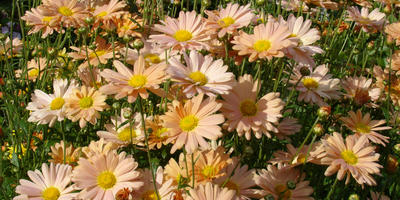 Хризантемы с точки зрения садовода и ботаника