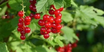 Смородина в саду: для урожая и для красоты