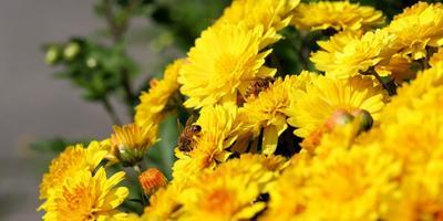 Краткие рекомендации по выращиванию и размножению хризантем