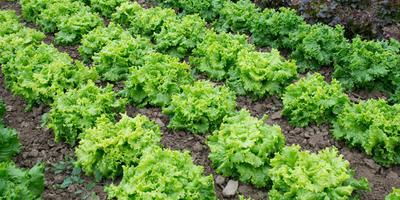 Выбор культур и сортов для своего огорода - принципы, правила, подходы