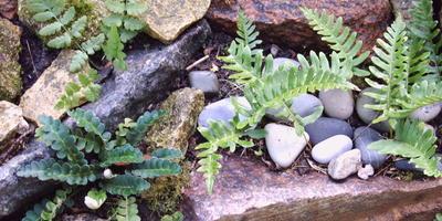 Скальные папоротники в садовом дизайне