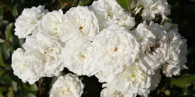 Где искать белую розу?