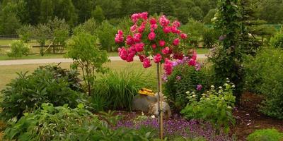 Грозят ли морозы вашей розе, или Еще раз об укрытии штамбовых роз