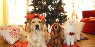 Кот и Новый год. Как ваши питомцы реагируют на новогоднюю елку?