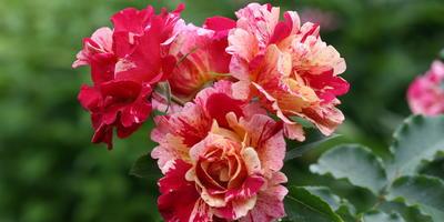 Кружевные розы
