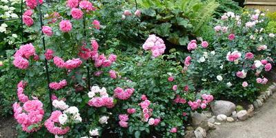 Свита для розы: как подобрать партнеров для королевы цветов